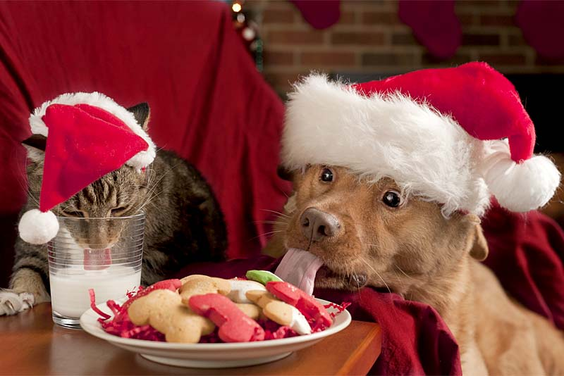 cat and dog eating christmas treats